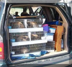 how many rabbit carriers fit in a mini van?