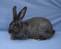 Steel gray flemish giant rabbit