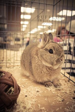 Netherland Dwarf Rabbit professional photography