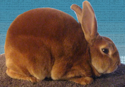 Grand champion mini rex rabbit