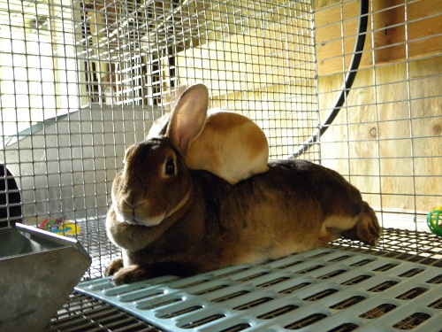 Red Mini Rex and Castor Mom