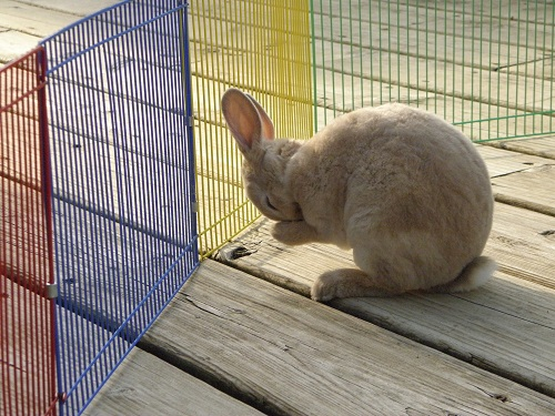 Cute rabbit washing itself mini rex