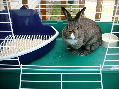 bunny in house rabbit cage BEW sport