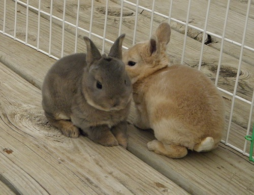 Useful Tools For The Rabbitry Show Rabbit Information