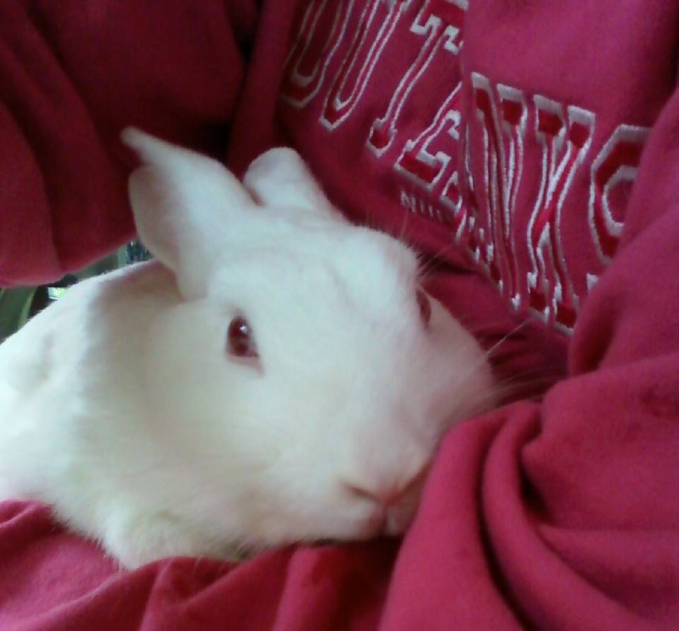New Zealand rabbit in pink shirt