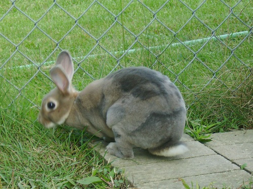 Mini Rex with unusual color pattern