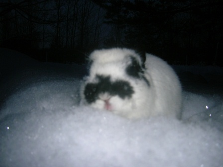 Polish Rabbit in the Snow