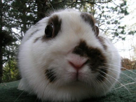 polish rabbit face