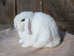 BEW holland lop rabbit
