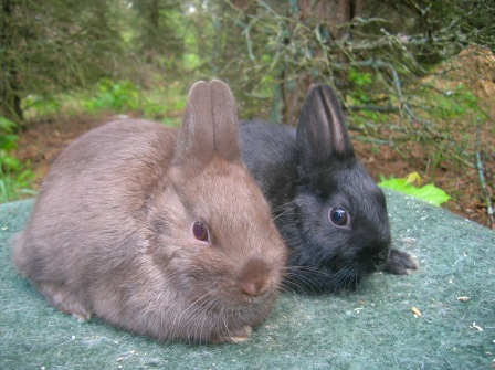 Two baby polish rabbits