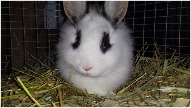 Cute Lionhead rabbit pictures