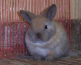 young holland lop eared bunny four weeks old