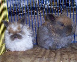 Two sweet baby holland lop bunnies together