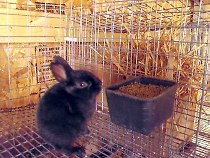 baby black rare silver rabbit eating from coop cup