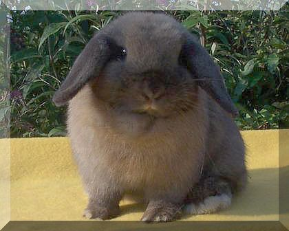 junior tortoise holland lop doe show quality