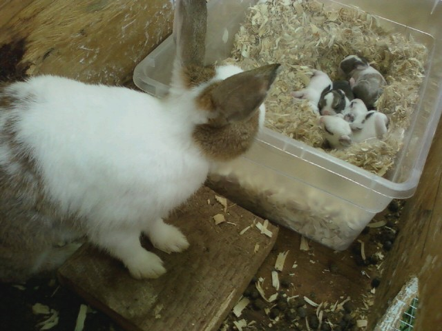 Dutch mother rabbit
