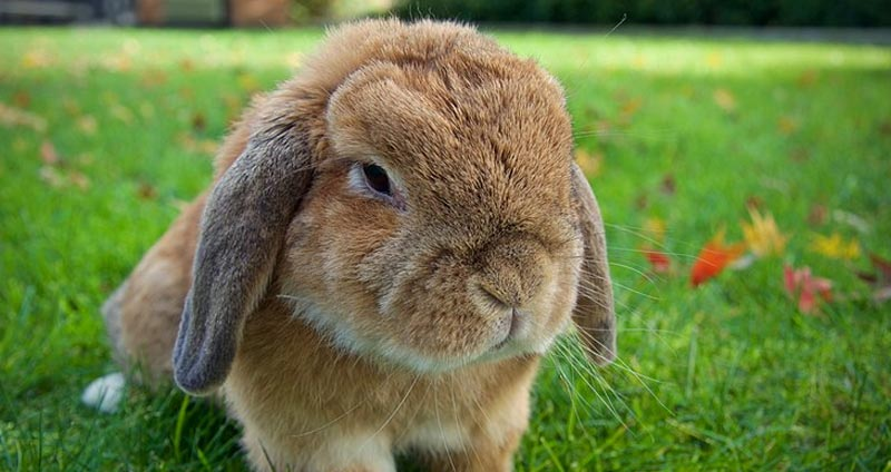 Holland Lop Rabbit Breeders With Bunnies For Sale The