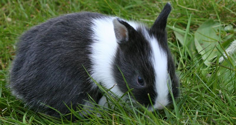 Netherland Dwarf Rabbit Breeders With Bunnies For Sale The