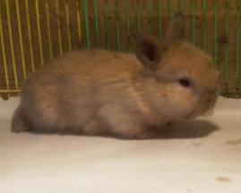baby bunny holland lop two weeks of age