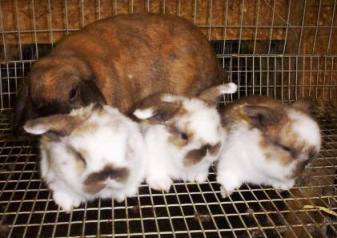 Grooming Holland Lop Rabbits - Mommy with babies